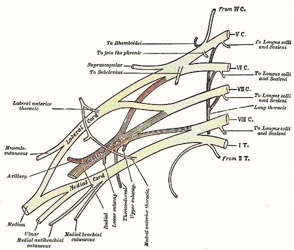 腕神経叢の後神経束から分かれるのはどれか (2014年 鍼灸 問題28 ...