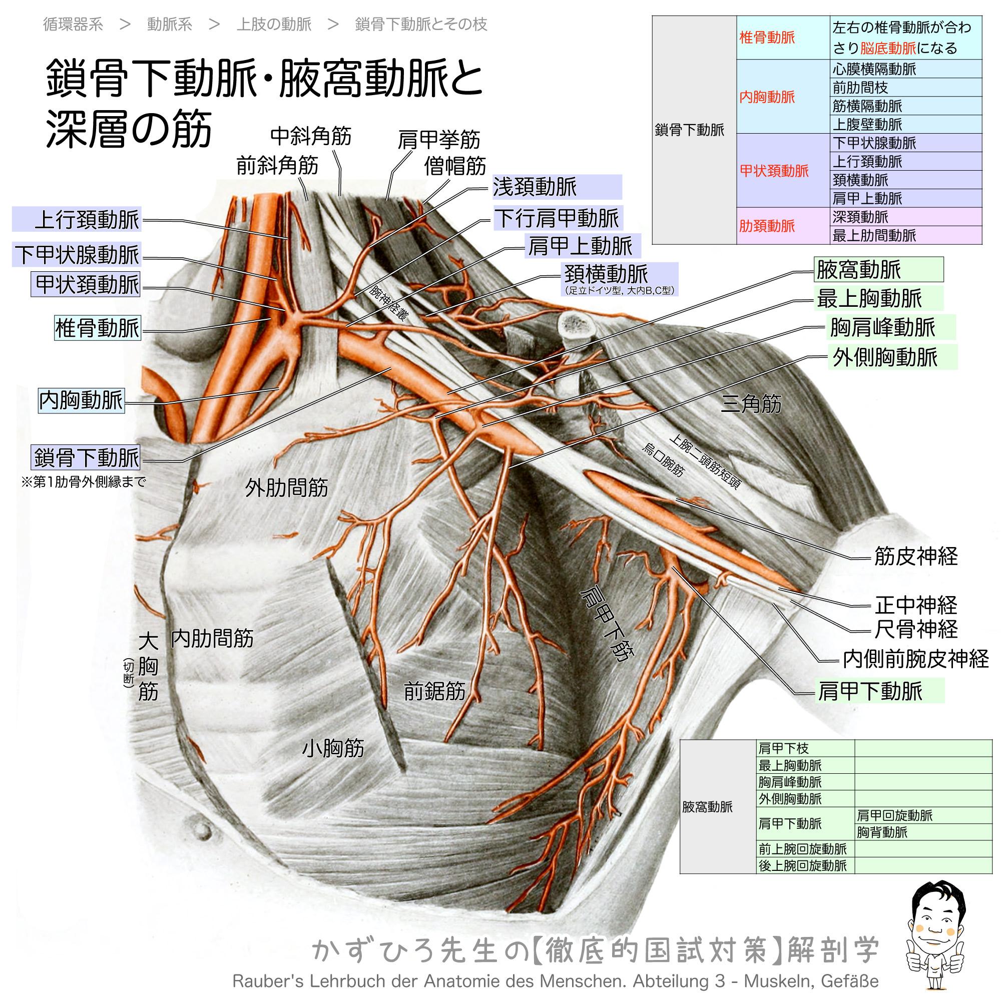 動脈 鎖骨 下