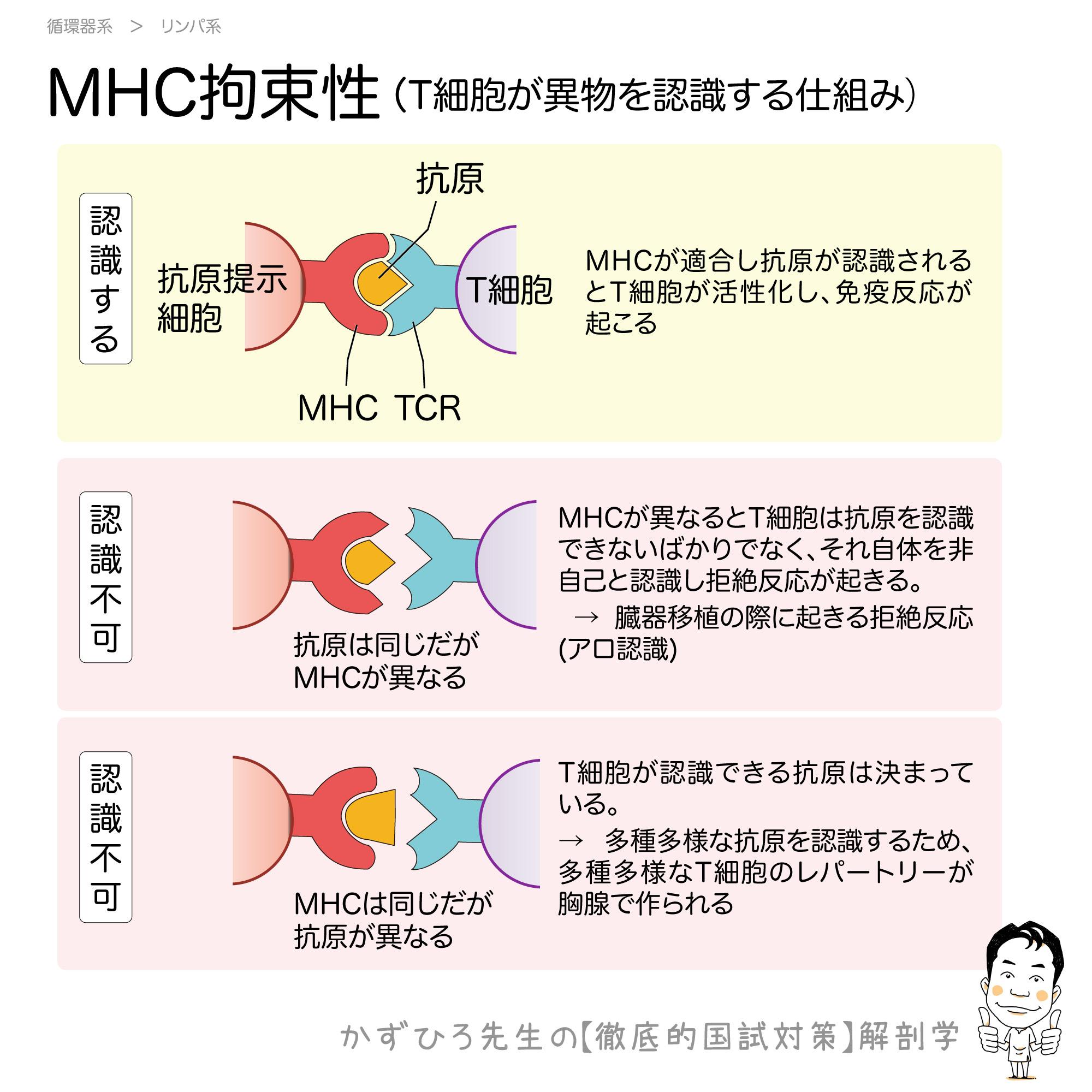 MHC拘束性:T細胞が異物を認識する仕組み | 徹底的解剖学