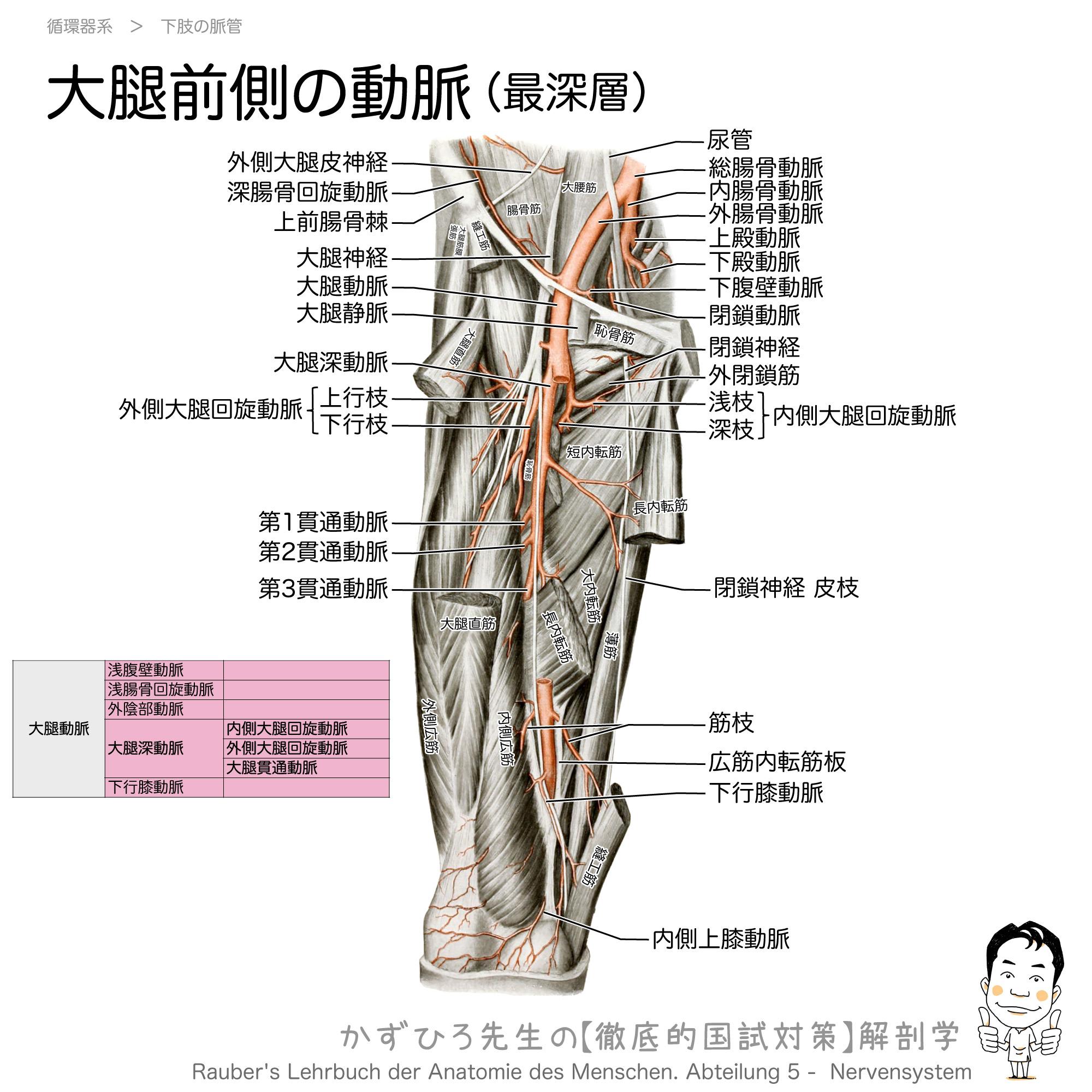 大腿深動脈とその枝(内側大腿回旋動脈・外側大腿回旋動脈・貫通動脈)
