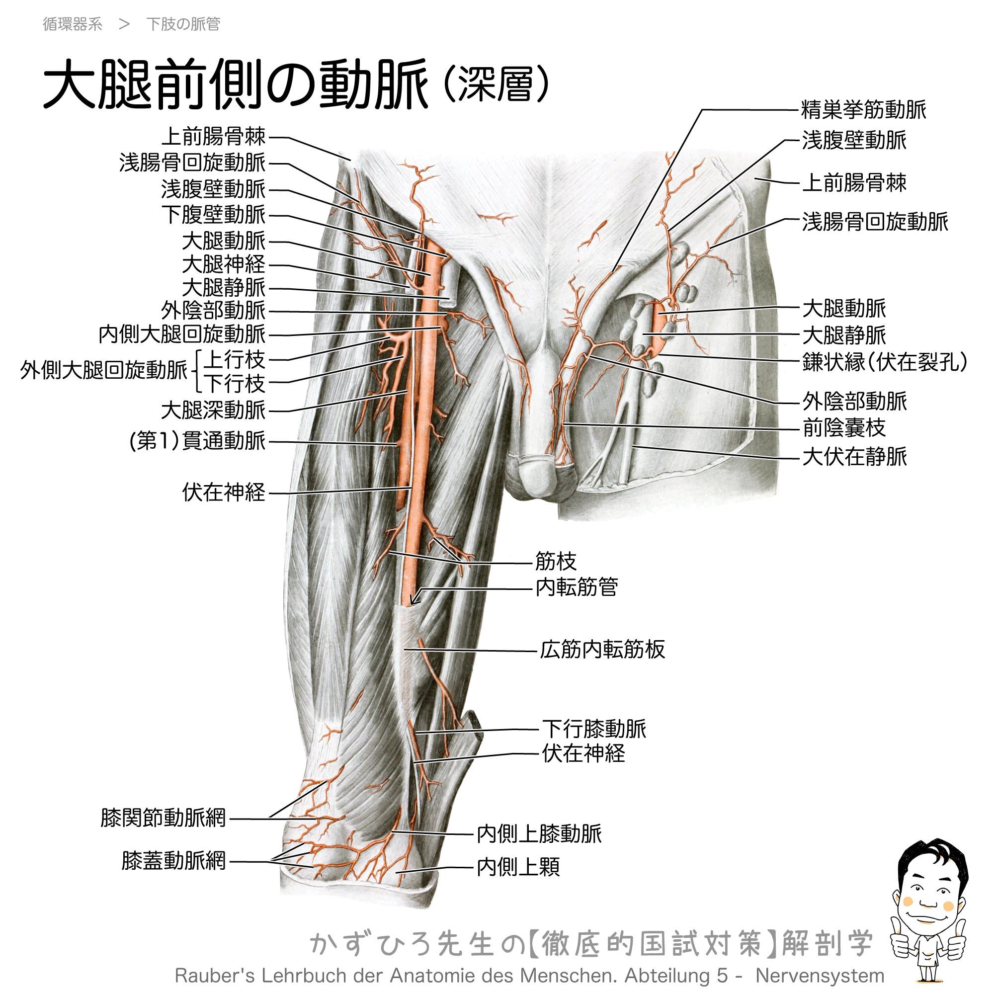 大腿前側の動脈(深層):大腿動脈と大腿深動脈/伏在裂孔