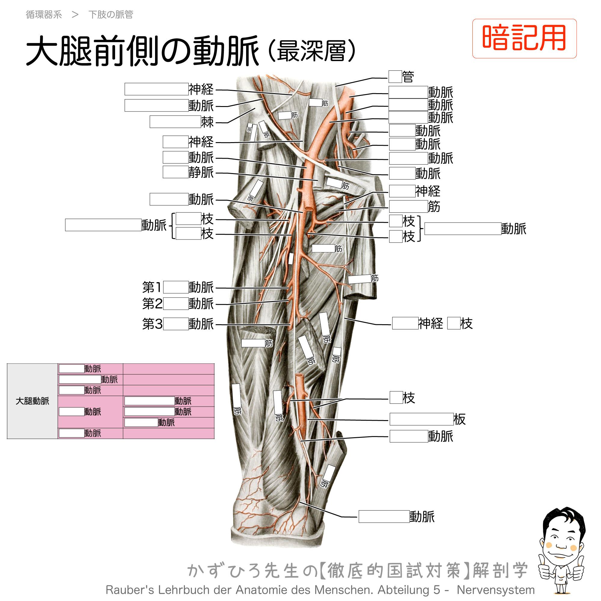 大腿深動脈とその枝(内側大腿回旋動脈・外側大腿回旋動脈・貫通動脈)(暗記用)