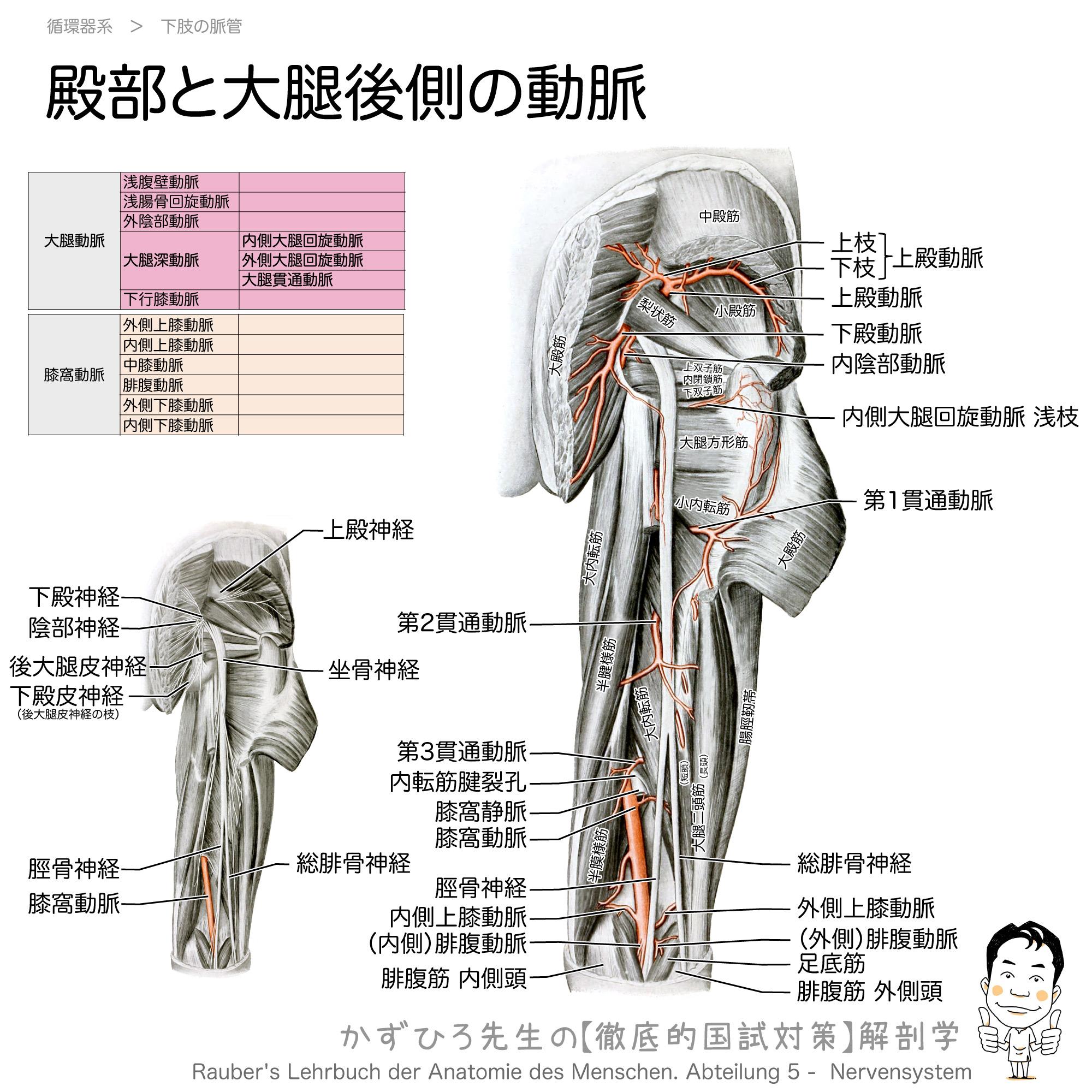 殿部と大腿後側の動脈(上殿動脈, 下殿動脈, 貫通動脈, 内側大腿回旋動脈, 膝窩動脈)