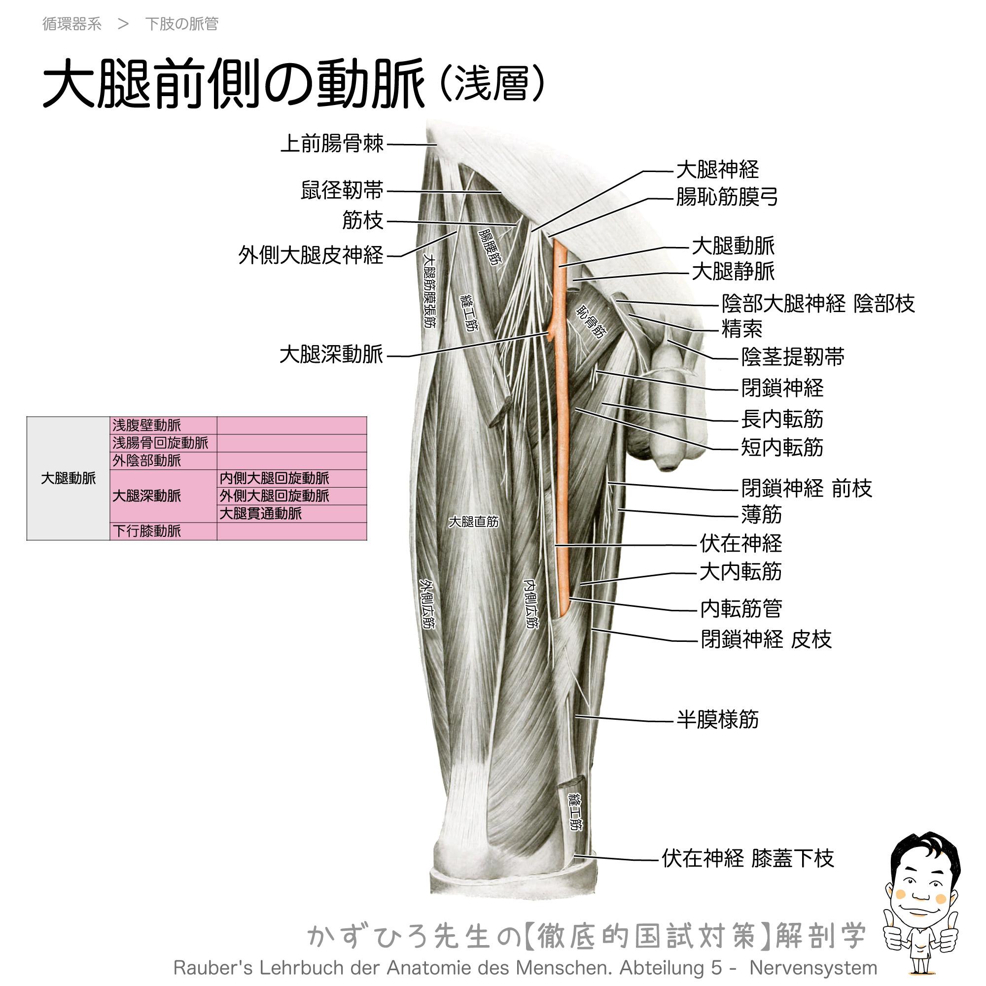 大腿前側の動脈(浅層):大腿動脈と大腿神経