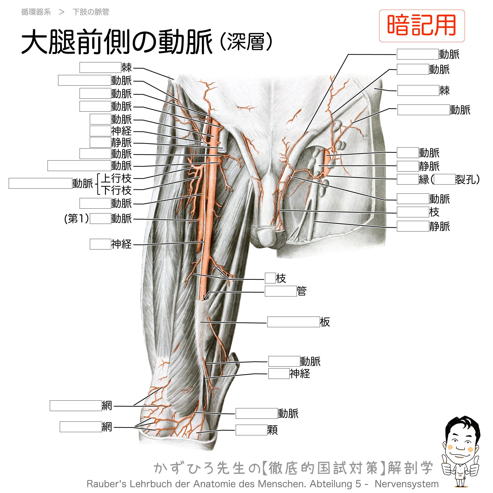 大腿前側の動脈(深層):大腿動脈と大腿深動脈/伏在裂孔(暗記用)